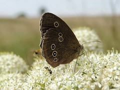 Ringlet (Kevin Pendragon) Tags: butterfly summer grassland outdoors mature ant insect wings rings