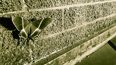 Huge Butterfly vintage (Ahmed N Yaghi) Tags: kalimantan indonesia berau wall blocks vintage beautiful wings insect butterfly macro