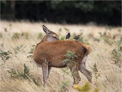 I'm watching you (adecoleman) Tags: wildlife nature deer reddeer parkland animal grass bracken wood bushypark london uk summer looking resting sitting canon5dmkiv canonphotography green brown mammal bird starling