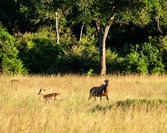 Quiet mood in Golden late afternoon light. (odileva) Tags: antelopes june kenia masaimaranp nature transmara riftvalleyprovince kenya ke