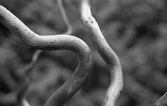 just sticks - no stones (toonboy7) Tags: film aristaii 400asa blazinal rodinal 125dillution bw blackwhite monochrome canoneos 35mmfilm