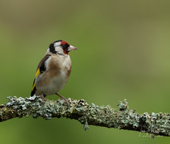 Gold finch (Ian howells wildlife photography) Tags: ianhowells ianhowellswildlifephotography nature naturephotography nationalgeographic canon canonuk goldfinch wildlife wildlifephotography wales wild wildbird wildbirds