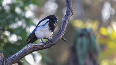 We were language's magpies by nature, stealing whatever sounded bright and shiny… (ferpectshotz) Tags: blackbilledmagpie magpie bird small zoo sandiego perch resting beak black