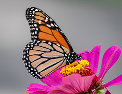 Monarch on Zinnias (tresed47) Tags: 2018 201808aug 20180812homemacro august butterflies canon7dmkii chestercounty content folder home insects macro monarch pennsylvania peterscamera petersphotos places season summer takenby technical us ngc