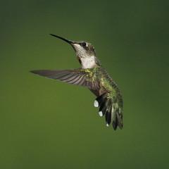 IMG_0707 (davekremitzki) Tags: hummingbird beaver dam illinois