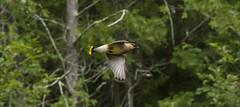 Cedar Waxwing (Bombycilla cedrorum) (Brian Laskowski) Tags: bird michigan forest flight