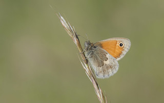Small Heath (Coenonympha pamphilus).