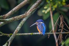 Blue-eared Kingfisher (BP Chua) Tags: singapore bird nature wildlife animal kingfisher blue botanic garden nikon 600mm d850 telephoto