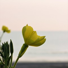 Blooming on the first dunes (alex.gb) Tags: sea dune flower sand light shapes dawn firstlight yellow green blue plant sky