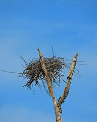 Another successful nesting season at the Heron rookery (Photos by the Swamper) Tags: heron rookery nest