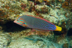 blue dotted (BarryFackler) Tags: hawaiiisland bigisland 2018 barryfackler honaunaubay ocean animal undersea pacific sealife marinelife nature reef being island zoology fish wrasse yellowtailcoris corisgaimard hinaleaakilolo coris cgaimard vertebrate westhawaii saltwater hawaiianislands marine organism tropical diving southkona marinebiology aquatic life underwater coralreef sea polynesia konacoast honaunau water ecology fauna bigislanddiving seacreature diver barronfackler marineecosystem dive outdoor pacificocean scuba sealifecamera sandwichislands seawater hawaii hawaiicounty hawaiidiving kona konadiving creature coral bay biology marineecology wildlife