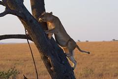 IMGP8119 Climbing the Tree (Claudio e Lucia Images around the world) Tags: lion lioness tree climbing jump jumping serengeti tanzania africa cat bigcat feline savana sunrise pentax pentaxk3ii sigma sigma50500 bigma sigmaart pentaxart nationalgeographic africageographic