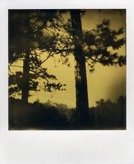 Arbre US, version Orotone sur Polaroid. (Dguyzé) Tags: instantfilm instantlab instantlabuniversal orotone itypebw itype tree arbre arbol polaroid impossibleproject