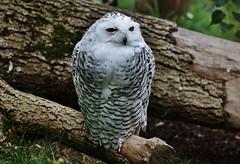Schnee-Eule (Bubo scandiacus) (Hugo von Schreck) Tags: hugovonschreck schneeeule buboscandiacus bird vogel canoneos5dsr tamronsp150600mmf563divcusda011 greatphotographers