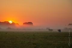 Lever de soleil dans la brume (brunochomilier) Tags: 2018 leversoleil paysage vache combrailles auvergne rouge feu soleil france brume brouillard volcans unesco