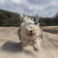 o dear, there comes Amy :) (dewollewei) Tags: oldenglishsheepdog oldenglishsheepdogs wickedwisdoms oes bobtail dewollewei running run happy zoom