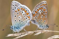 Bläulingliebe (Marcus Hellwig) Tags: bläuling schmetterling falter lycaenidae makro macro natur nature commonblue