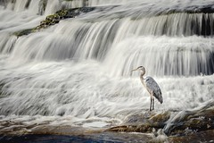 Went looking for a person, found a heron. (Dan Fleury Photos) Tags: conservation park springside lennoxandaddington cdn cans2s fishing bird blueheron heron greaternapanee ontario canada ca