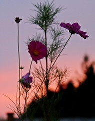 Good Morning from the Cosmos! (Gillian Floyd Photography) Tags: sunrise early morning cosmos plant flower sky