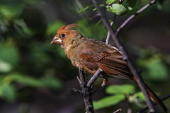 Molting Male Northern Cardinal (will139) Tags: cradinaliscardinalis redbird cardinalidae bird wildlife nature perched feathers animal songbird avian colorful ornithology crested molting sloughing shedding indianastatebird