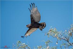 Brown Snake Eagle (luciano.leuzzi) Tags: aquila eagle africa bush botswana cielo luce uccelli rapaci volo