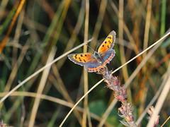 EOS 7D Mark II_073000 (Gertjan Kamsteeg) Tags: animal invertebrate bug macro insect butterfly lycaenidae lycaenaphlaeas smallcopper americancopper commoncopper
