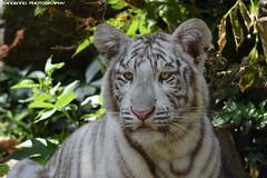 White Tiger cub - Zoo Amneville (Mandenno photography) Tags: animal animals dierenpark dierentuin dieren zoo zooamneville amneville tiger tijger tigers tijgers france frankrijk cat cub bigcat big