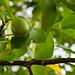 Close Up on a Walnut Tree Branch