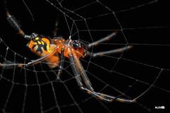 Pear-shaped Leucauge Spider (harshithjv) Tags: spider leucauge pearshapedleucauge opadometa fastigata arachnid arachnida araneae tetragnathidae canon 80d tamron macro 90mm godox raynox dcr250