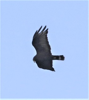 Zone-tailed Hawk (Buteo albonotatus) 07-30-2018 Pena Blanca Lake, Santa Cruz Co. AZ 4