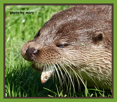 OTTER (maryimackins) Tags: otter bwc fish mary mackins