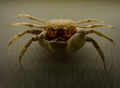 Feeling Spooked (Steve Taylor (Photography)) Tags: asia singapore ghostcrab brown shadow scary spooky