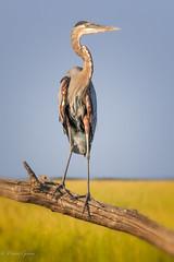 Regal Pose (dngovoni) Tags: background bird bombayhook delaware greatblueheron heron summer wildlife