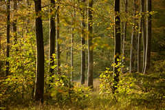 Autumn in Friston Forest (Alan MacKenzie) Tags: forest woodland autumn trees leaves beech bokeh shadows england eastsussex