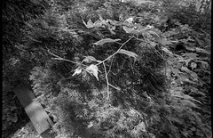 conifer shrub, invasive vines, backyard, West Asheville, NC, Olympus XA4, Kodak TMAX 400, Kodak TMAX developer, 9.2.18 (steve aimone) Tags: conifer shrub vines invasive westasheville northcarolina olympusxa4 kodaktmax400 kodaktmaxdeveloper pointandshoot compactcamera blackandwhite monochrome monochromatic macro