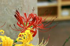 IMG_8836 (vitorkawasaki) Tags: canon 80d 50mm lens prime stm flower flor 花 はな キャノン レンズ fleur japan yamato 大和 日本 神奈川県