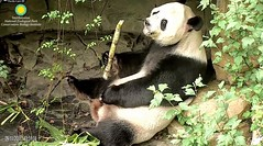 2018_09-11e (gkoo19681) Tags: tiantian dabigguy sohandsome proudpapa adorableears fuzzywuzzy feetsies treattime sugarcane delicious soyummy toofers heavenly savoring toocute beingadorable posing sillypapa amazing precious contentment darling ccncby nationalzoo