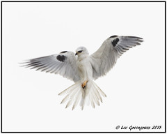Hovering Angel Pose (pandatub) Tags: ebparks ebparksok bird birds kite whitetailedkite hrs haywardregionalshoreline