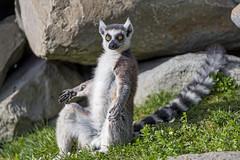 Lemur with open arms (Tambako the Jaguar) Tags: lemur catta ringtail primate cute black white sitting sunny arms grass rocks stones portrait kinderzoo knie zoo rapperswil switzerland nikon d5