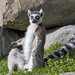 Lemur with open arms