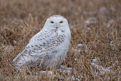 Snowy Owl (NicoleW0000) Tags: snowyowl owl field snow ontario rural wild wildlife wildlifephotography winter bird birdofprey