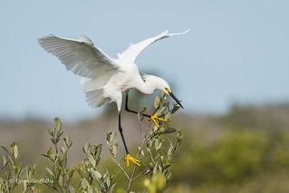 Snowy Egret - Crash Landing 500_5836.jpg