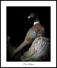 A very pleasant Pheasant (timgoodacre) Tags: bird birds birdportrait birdlife wildbird wildlife wildanimal wild outside wildfowl nature ngc pheasant animal wood treestump night