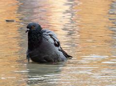 Bathing pigeon (thekissmate) Tags: bird pigeon nature animal wildlife dove water feather black coot beak lakebirds wild white wing grey gray canon sx50hs canonphotography rawmoody