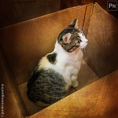 A cardboard box, of course! (Pedro Nogueira Photography) Tags: pedronogueiraphotography pedronogueira photography animal cat gato doméstico domestic kitty kittens pets pet mobilephone iphonex telemóvel iphoneography patuska