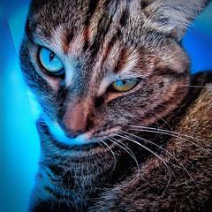 MAYA dans le bac à linge (thierrybalint) Tags: cat canon animal chatte femelle chattigré cccg