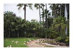 _K001908 (Jordane Prestrot) Tags: ♍ jordaneprestrot tenerife puertodelacruz loroparque zoo desseincaptif captivedesign flamandrose flamingo flamenco