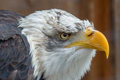 Sharp eye (Andriy Golovnya (redscorp)) Tags: bald eagle baldeagle weiskopfseeadler adler bird vogel wildpark poing wildparkpoing bayern bavaria deutschland germany sun sunny day beautiful light