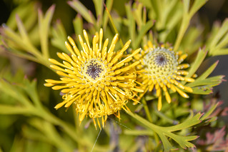 Yellow Wildflowers - Broad-leaved drumsticks