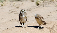 Burrowing Owls (Athene cunicularia); Los Lunas, NM [Lou Feltz] (deserttoad) Tags: nature newmexico bird wildbird raptor owl owlet desert behavior migration